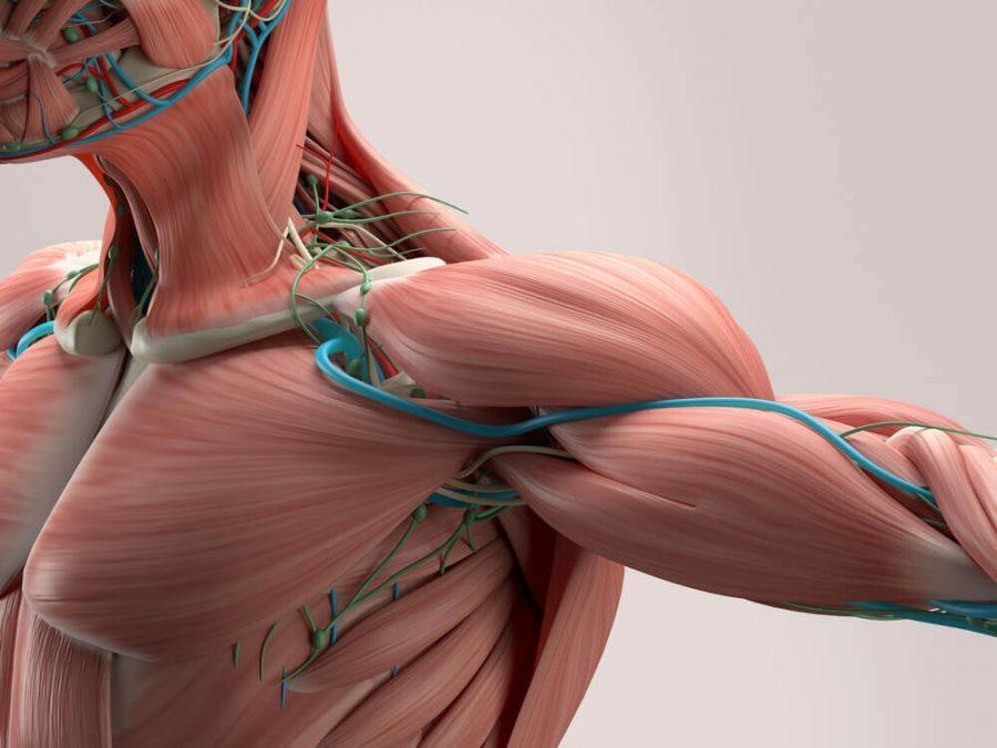 Human anatomy detail of shoulder
