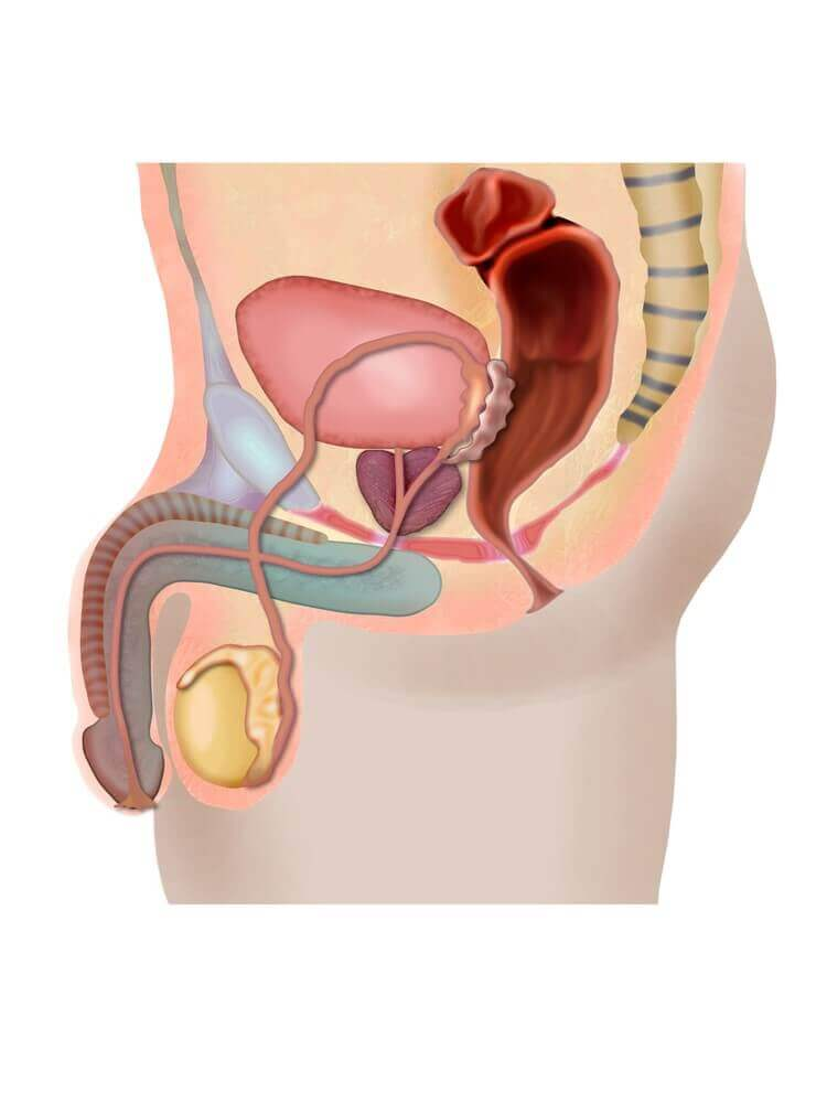 anatomy male sex organs